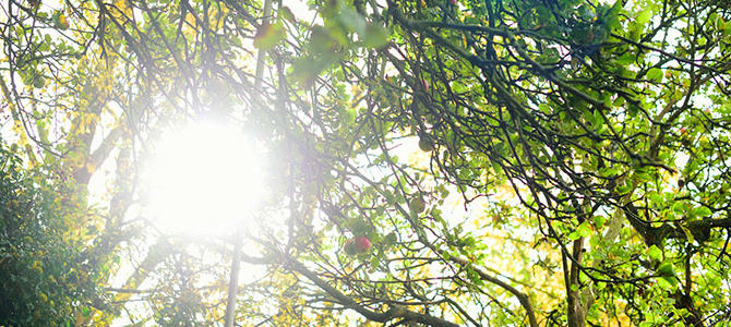 sunlight through the apple trees on campus